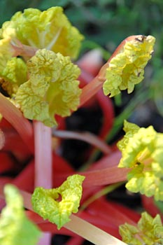 Young rhubarb plant in our garden