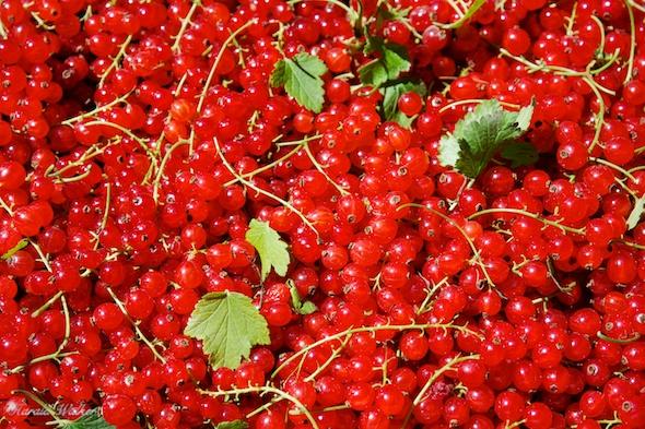 Redcurrant harvest