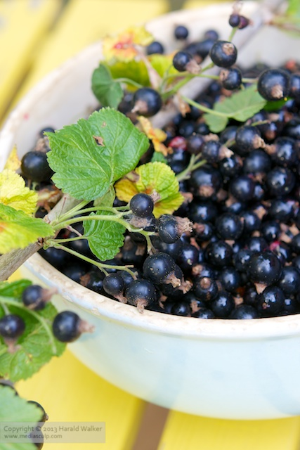 Blackcurrant harvest - Click here to license this image from Stocksy