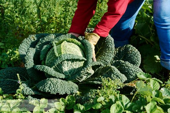 Gardener harvesting a large savoy cabbage