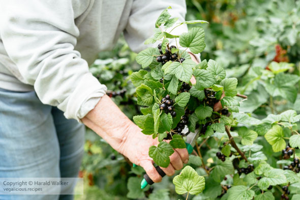 Harvesting blackcurrants (Ribes nigrum)