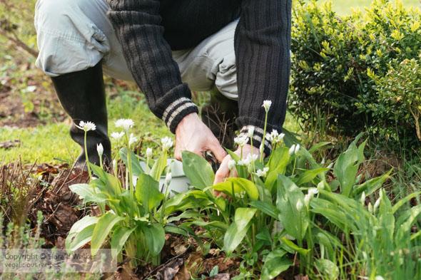 Gardener harvesting wild garlic