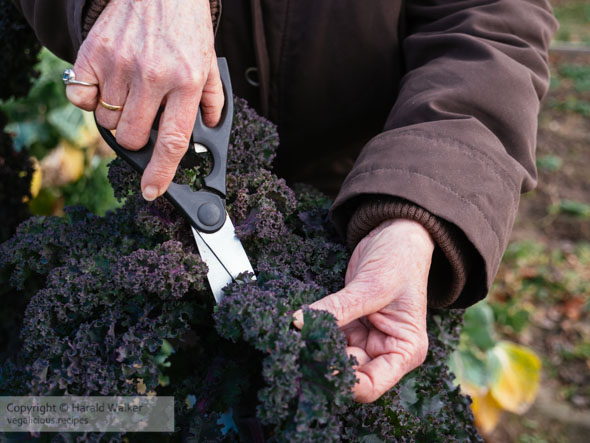 Harvesting Lippische Palme Kale